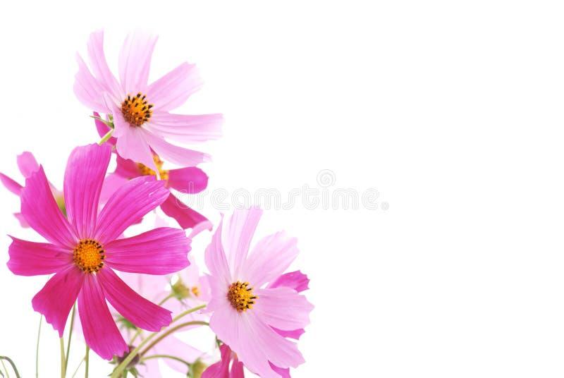 Buntes Gänseblümchen lizenzfreie stockbilder