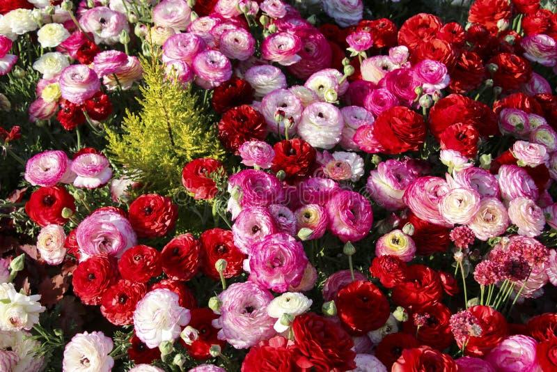 Buntes, helles Feld des blühenden Rosas und roter Ranunculus unter grünem Gras stockbild