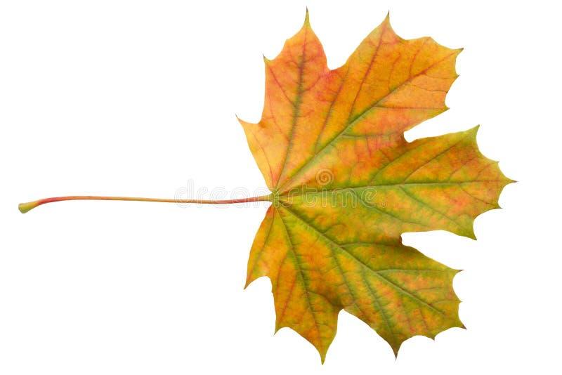 Buntes Herbstahornblatt oben lokalisiert auf weißem Hintergrundabschluß stockfoto