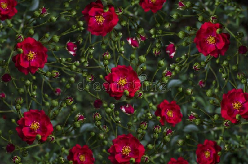 Buntes Hintergrund ofknospt und Rotrose stockbild