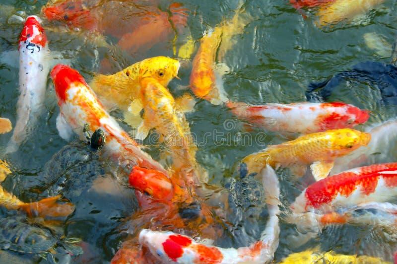 Buntes Koi fischt Schwimmen im Teich lizenzfreie stockfotos