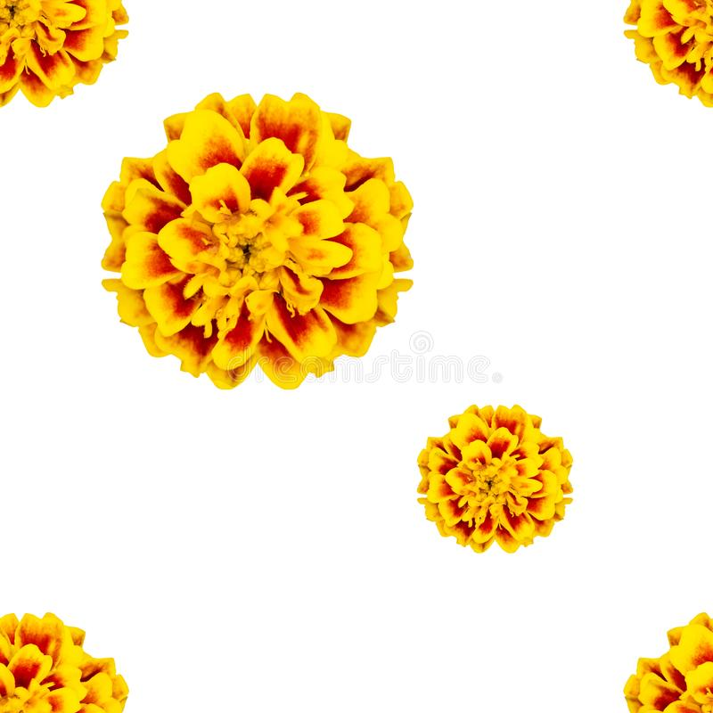 Buntes nahtloses Muster von Blumen tagetes patula stockfotografie