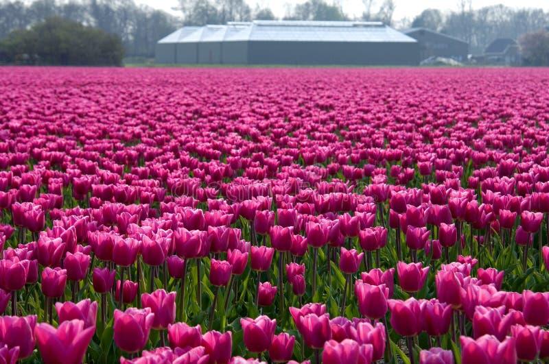 Buntes niederländisches Tulpenfeld mit Bauernhof lizenzfreie stockfotos