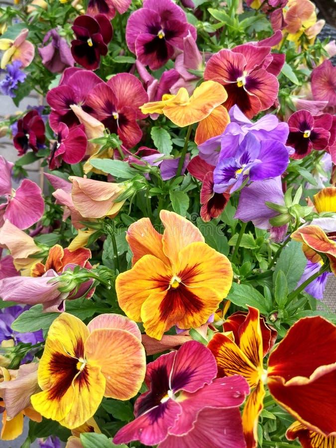 Buntes Sommerblumenbeet des blühenden varicolored Stiefmütterchens blüht stockfotografie