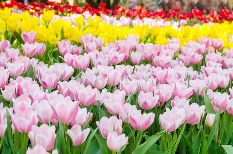 Buntes Tulpenblumenfeld stockfotografie
