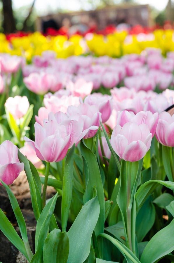 Buntes Tulpenblumenfeld lizenzfreie stockbilder