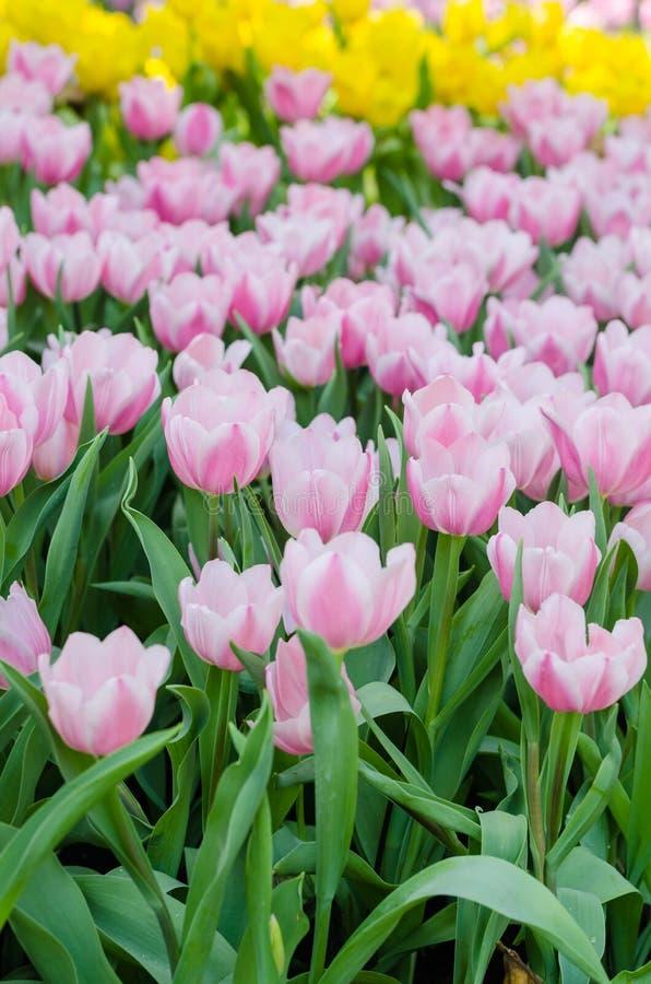 Buntes Tulpenblumenfeld stockbilder