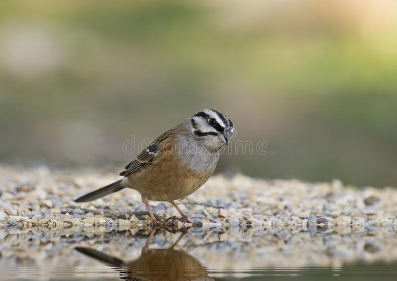 Bunting (Emberiza cia) royalty free stock photos