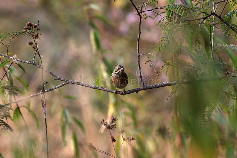 Bunting. The white-capped bunting or chestnut-breasted bunting is a species of bird in the family Emberizidae. It is found in Afghanistan, India, Iran royalty free stock images