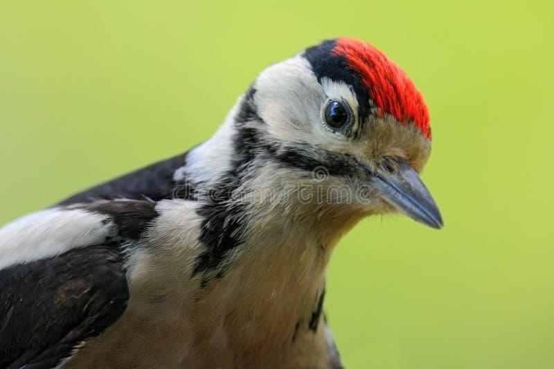 Buntspecht, Detailnahaufnahmeporträt des Vogelkopfes mit roter Kappe, Schwarzweiss-Tier, Tschechische Republik stockfotografie