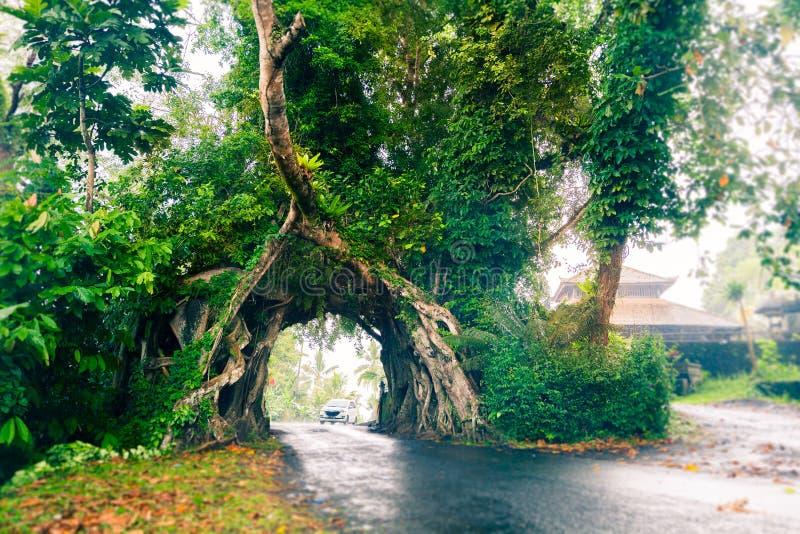 Bunut博隆,巨大巨大的热带与被交织的树隧道曲拱的自然活绿色榕属树根源在路的基地 免版税库存图片