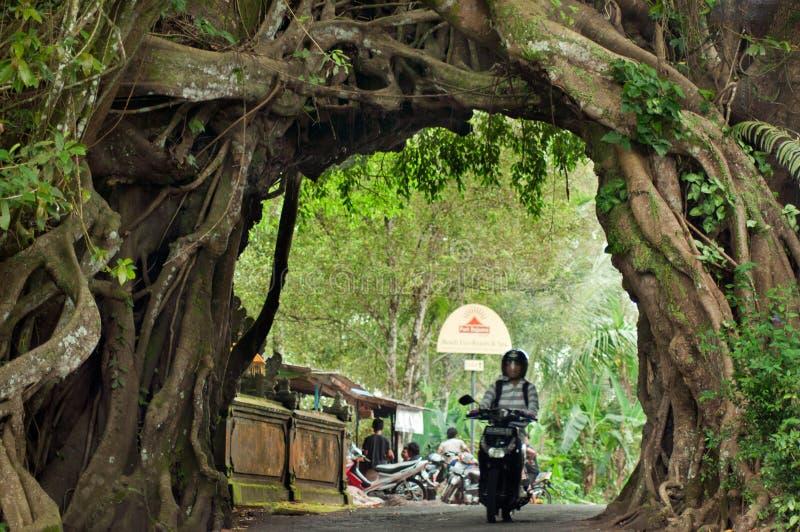 Bunut bolong巴厘岛,大榕树。 库存图片