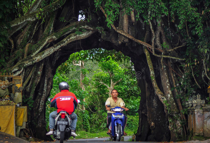 Bunut bolong Bali, stort Banyanträd. royaltyfri bild