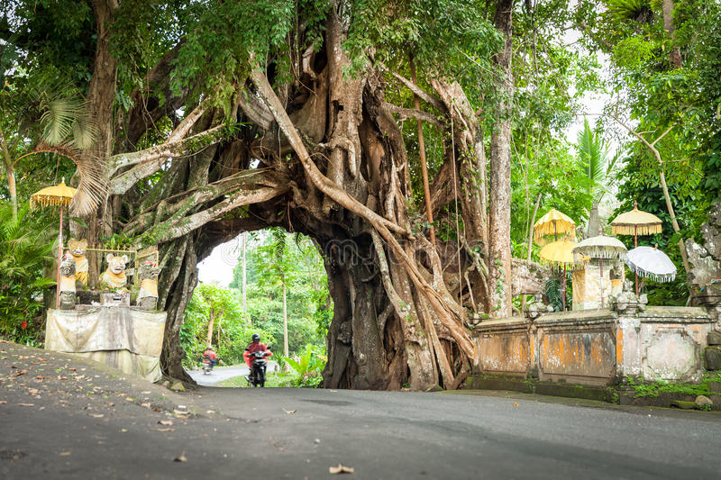 Download Bunut Bolong, Great Huge Tropical Nature Live Green Ficus Tree With Tunnel Arch Of Interwoven Tree Roots At The Base For Walking P Editorial Photo - Image of images, holiday: 76382001