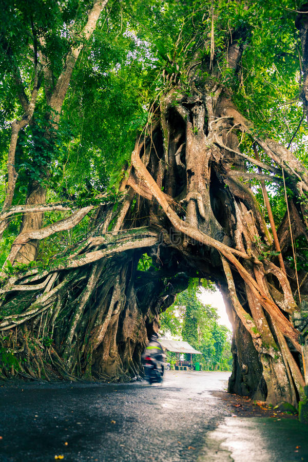 Download Bunut Bolong, Great Huge Tropical Nature Live Green Ficus Tree With Tunnel Arch Of Interwoven Tree Roots At The Base For Walking P Stock Image - Image of branch, drive: 76382045