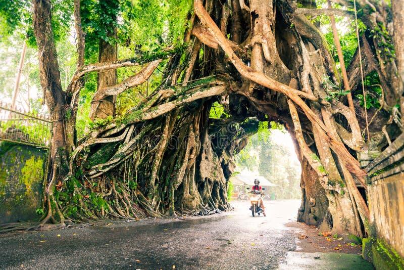 Bunut Bolong, Wielkiej ogromnej tropikalnej natury Ficus żywy zielony drzewo z tunelu łukiem przetkany drzewo zakorzenia przy baz zdjęcia royalty free
