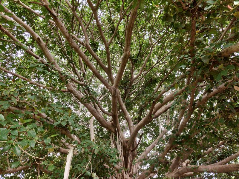 Bunyan& x27;s Tree. This is an Bunyan Tree image surrounded by other trees stock image