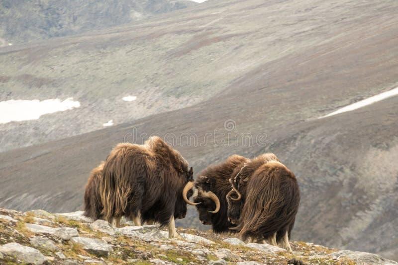 Buoi di muschio combattenti Norvegia fotografia stock