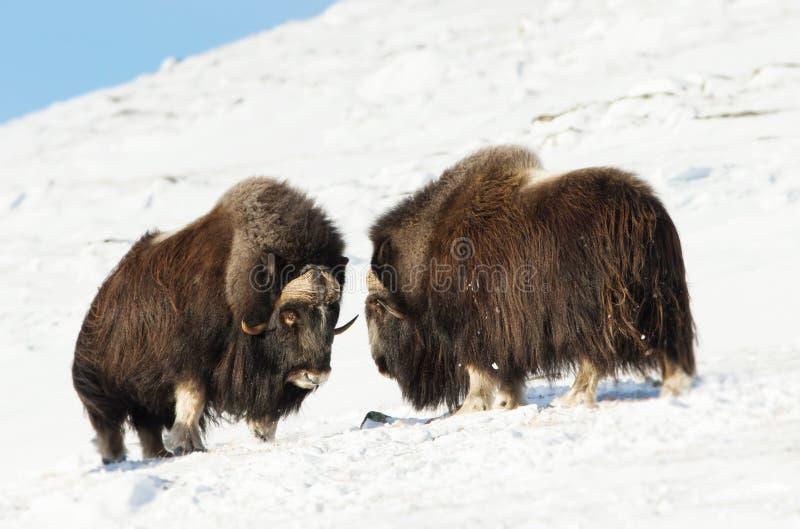 Buoi di muschio maschii che combattono nelle montagne nell'inverno fotografie stock