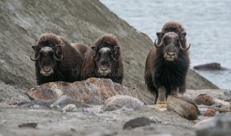 Buoi di muschio in Rypefjorden, Scoresby Sund, Groenlandia orientale fotografia stock