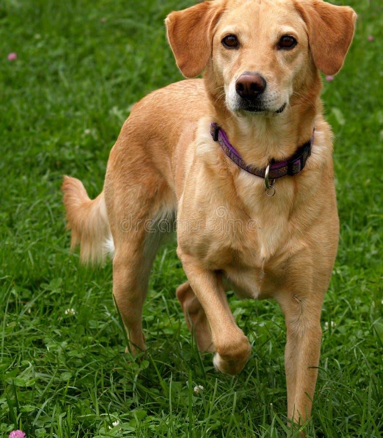 Download Buona Caccia Dell'animale Domestico Fotografia Stock - Immagine di pets, caratteristico: 220890