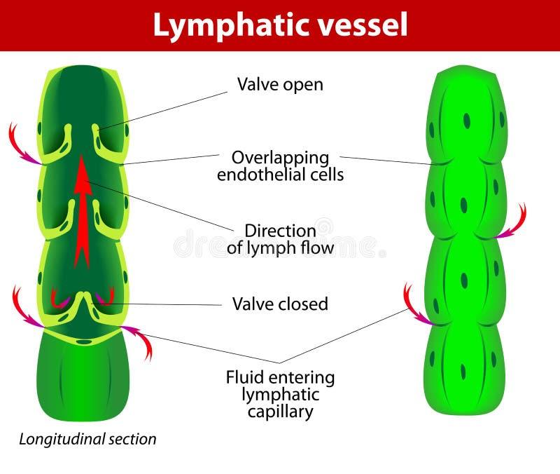 Buque linfático ilustración del vector