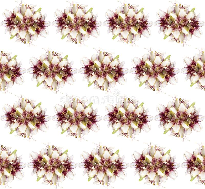 Buquet цветения цветка лилии картина свежего безшовная изолированная на белой предпосылке стоковые фотографии rf