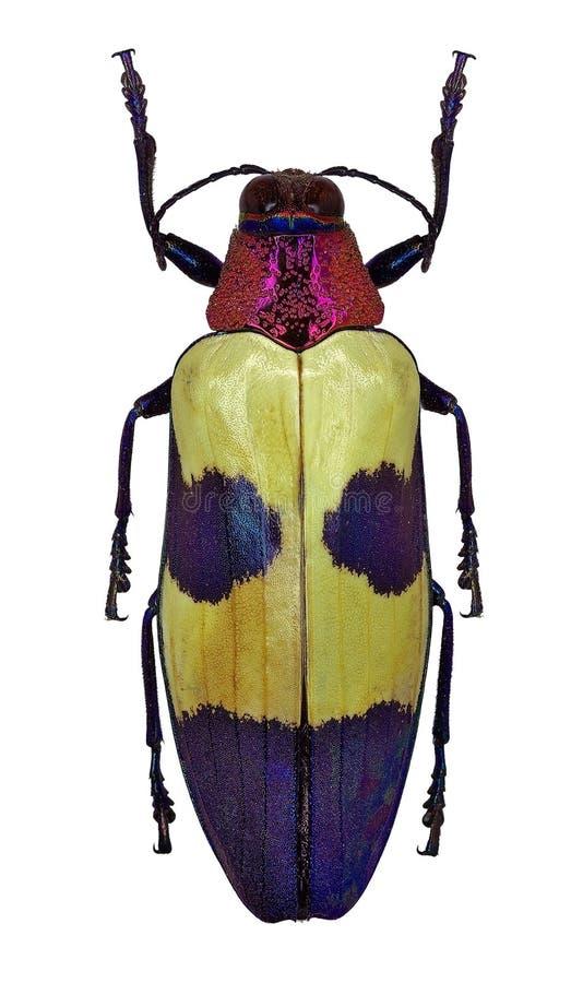 Buqueti esotico di Chrysochroa dello scarabeo del gioiello dalla Tailandia fotografia stock