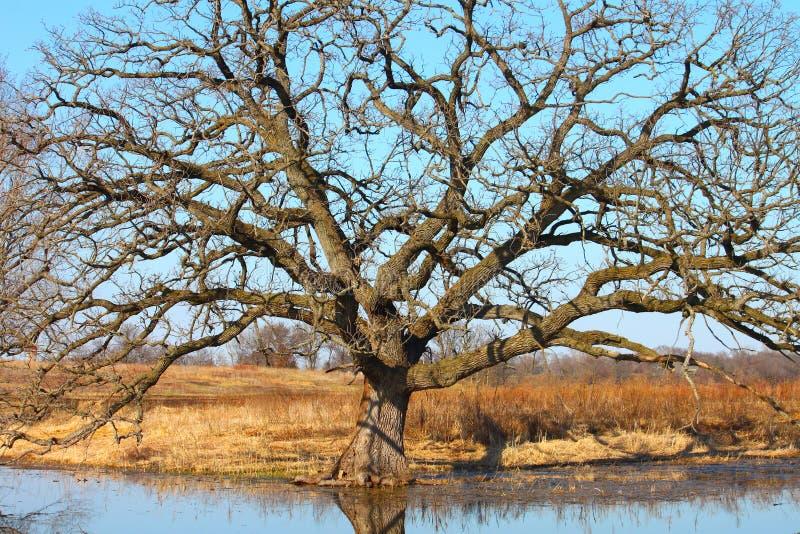 Download Bur Oak (Quercus Macrocarpa) Stock Image - Image: 19429355
