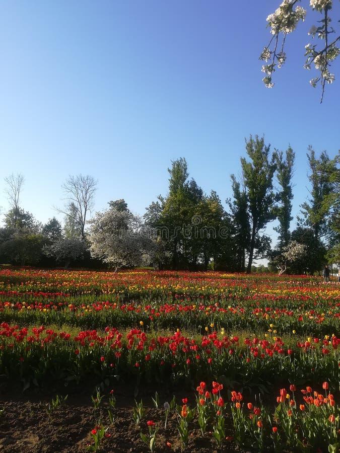 Tulip blooming stock photos