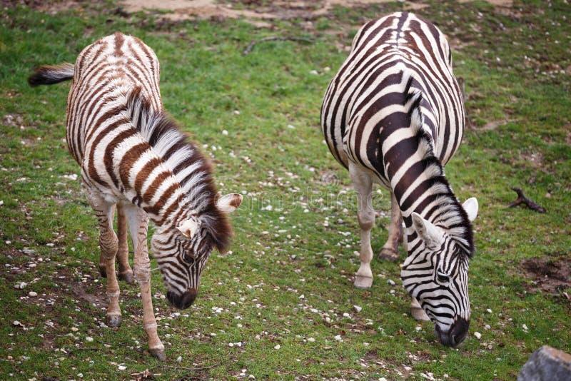 Burchell's斑马母马和年轻人驹 库存图片