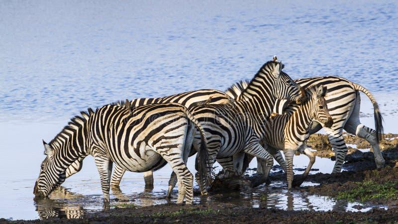 Burchell's sebra i flodstranden i den Kruger nationalparken fotografering för bildbyråer