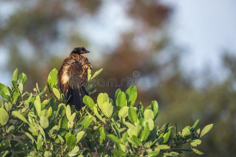 Burchell Coucal στο εθνικό πάρκο Kruger, Νότια Αφρική στοκ φωτογραφία