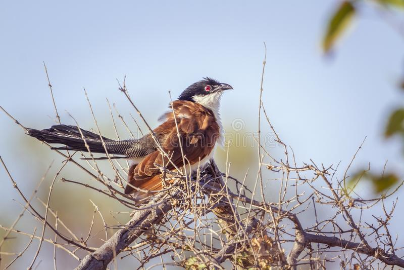 Burchell Coucal in het Nationale park van Kruger, Zuid-Afrika stock fotografie