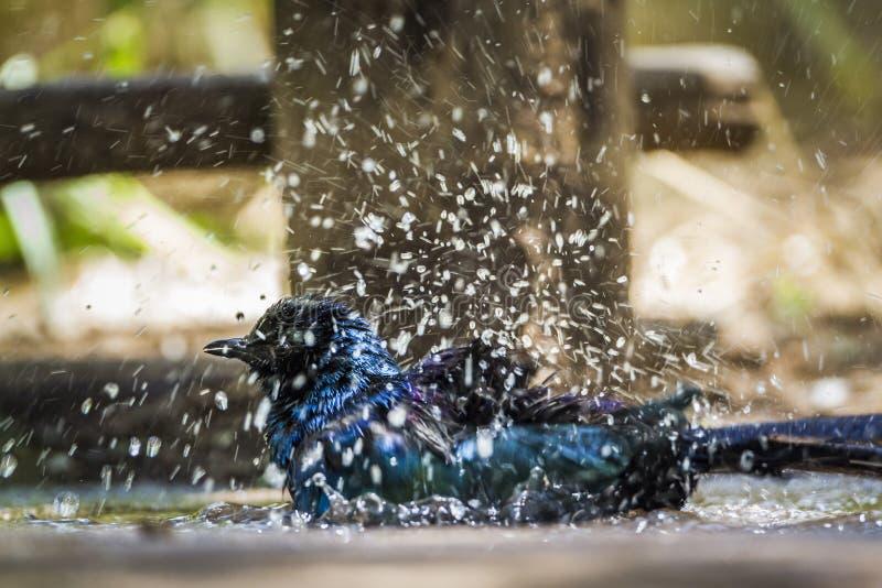 Burchell Glanzende Starling in het Nationale park van Mapunbugwe, Zuiden Afri stock afbeeldingen