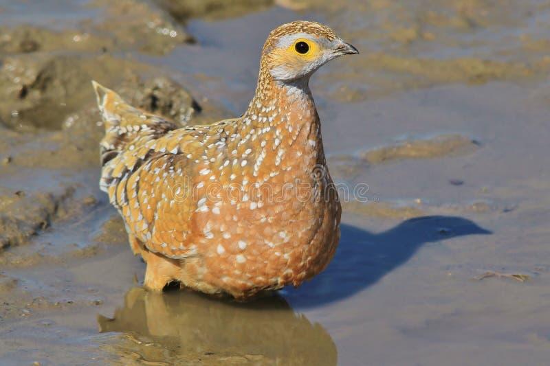 Burchell pardwa kolory życie - Afrykański Dziki Ptasi tło - fotografia royalty free