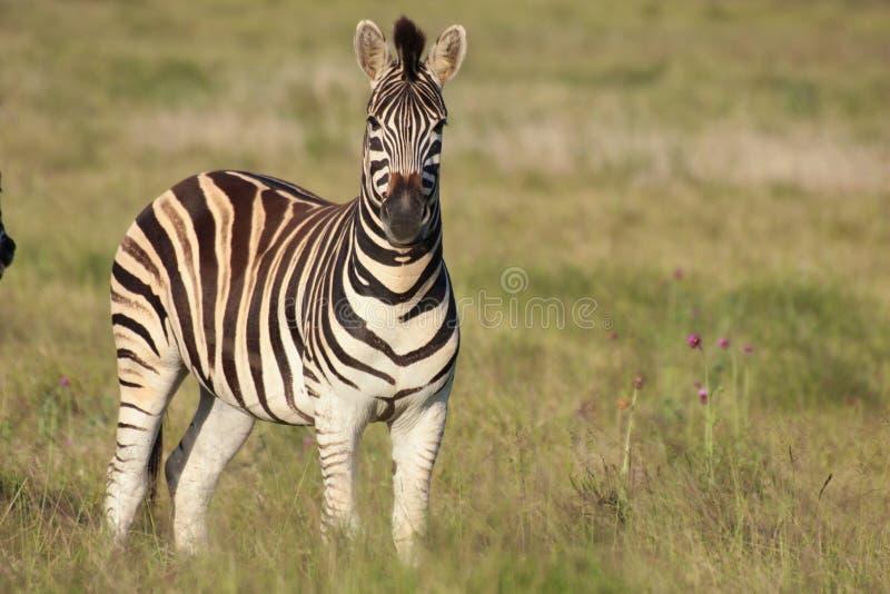 burchell portreta zebra obrazy royalty free