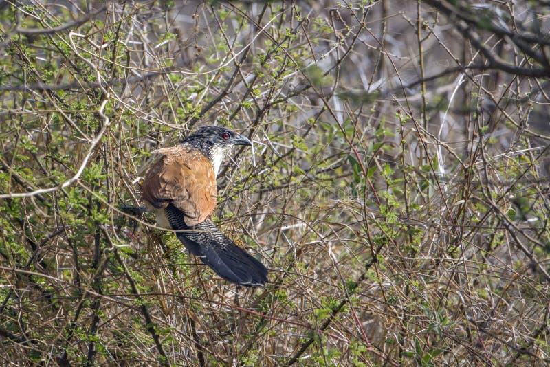 Burchell s Coucal在克鲁格国家公园 免版税库存照片