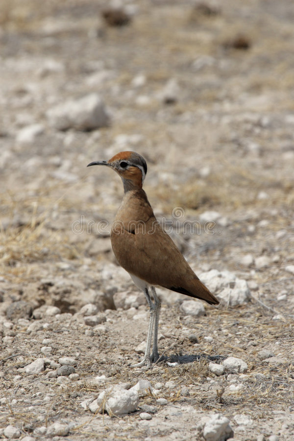 Download Burchell's Courser Stock Photography - Image: 7188992