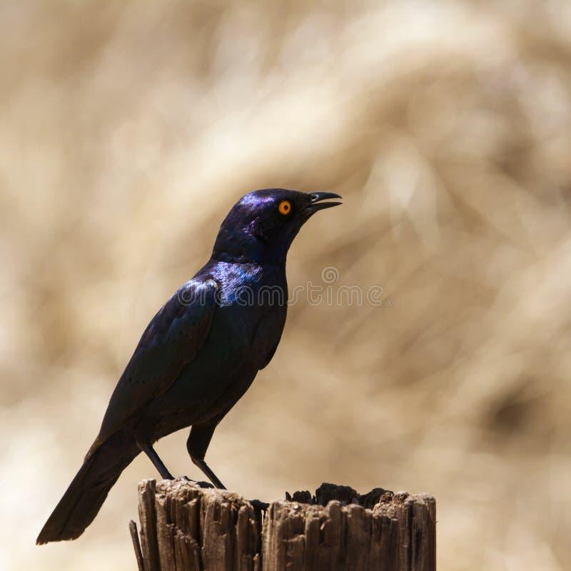 Burchell s glanzend-Starling in het Nationale park van Kruger royalty-vrije stock afbeelding