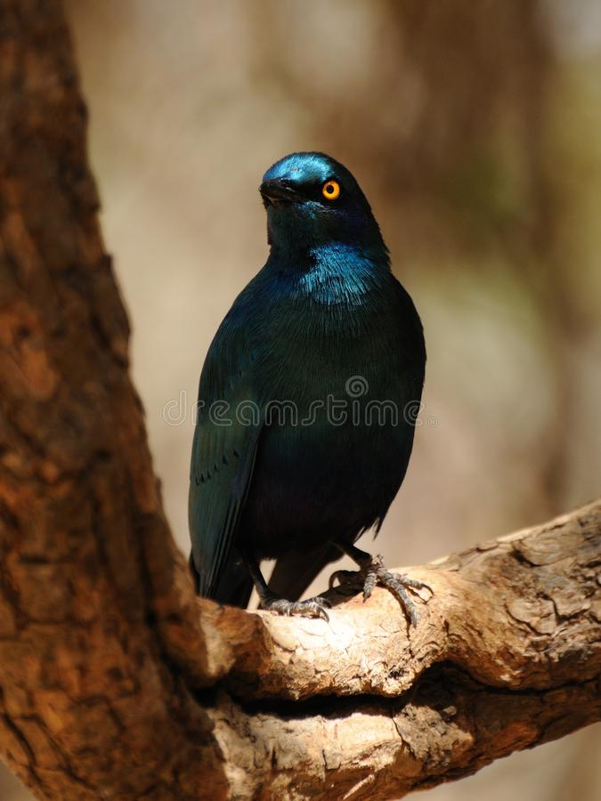 Burchell's Glossy-Starling. This bird you can see very often in the Kruger National-Park in South Africa stock photography