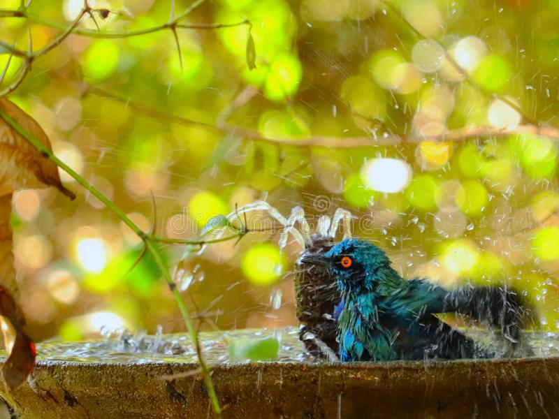 Burchell`s Starling having a bath. Blue Burchell`s Starling having a bath at a birdbath to beat the summer heat at Kruger National Park in South Africa stock photography