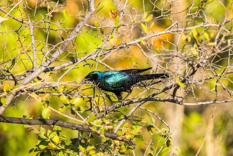 Burchell` s starling zitting op een boomtak royalty-vrije stock foto's