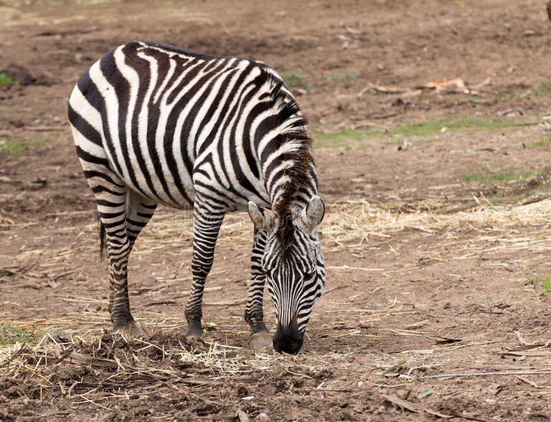 Burchell` s zebra royalty-vrije stock fotografie