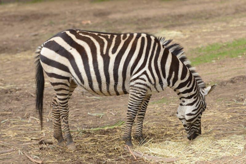 Burchell ` s zebra fotografia royalty free