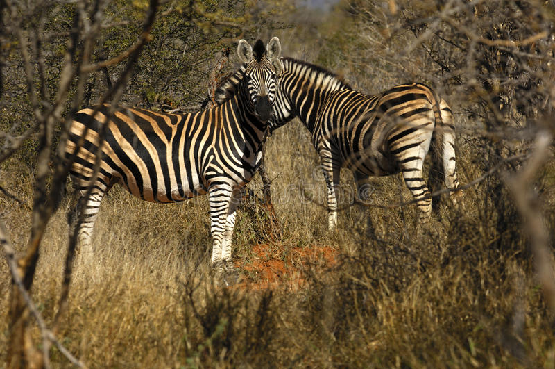 Download Burchell's Zebra stock image. Image of mammalian, burchell - 13186557
