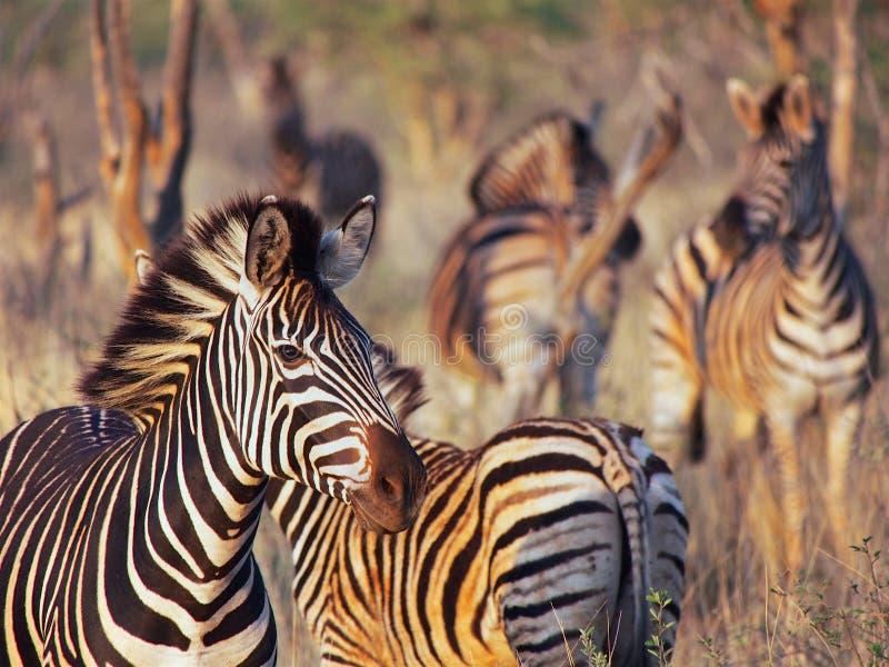 Burchell-` s Zebra stockbilder