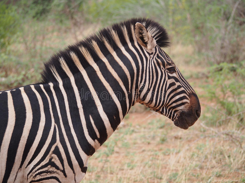Burchell-` s Zebra stockfotos