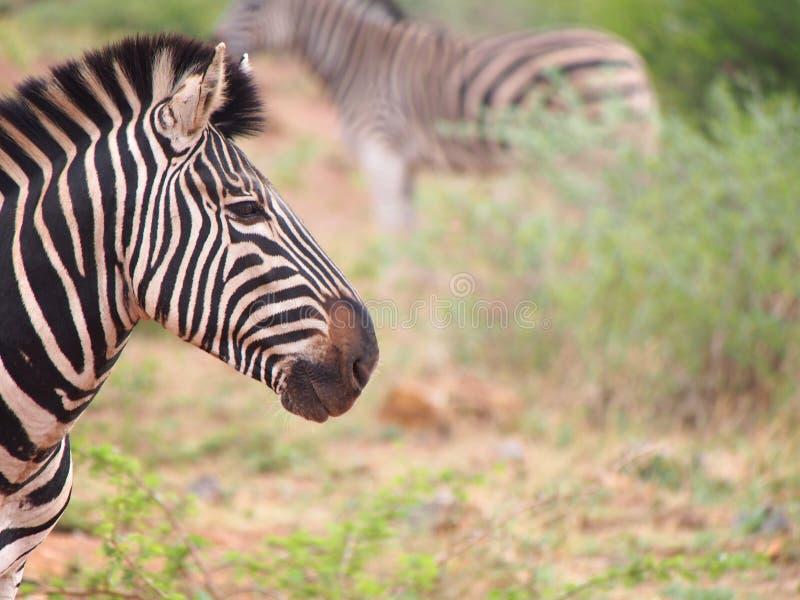 Burchell-` s Zebra lizenzfreie stockbilder