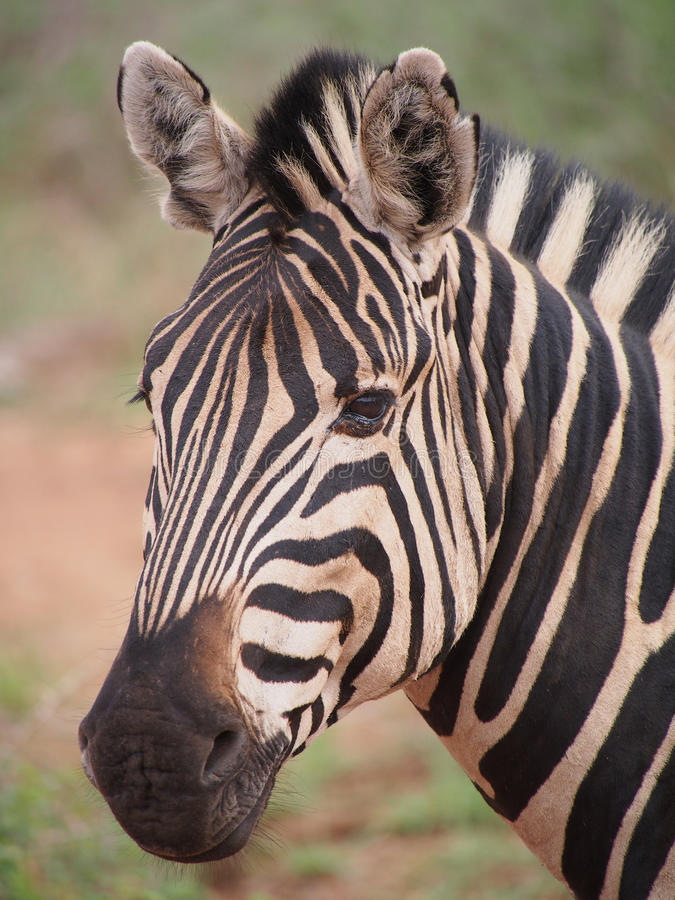 Burchell-` s Zebra stockfotografie